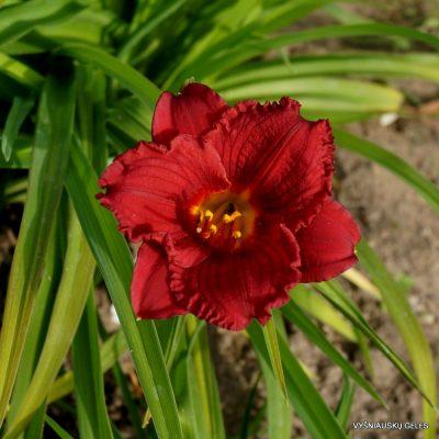 Hemerocallis 'Cranberry Baby' (4)
