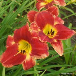 Hemerocallis 'Different by Design'