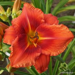 Hemerocallis 'Dynamite Bright'