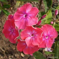 Phlox 'Oldenburg'