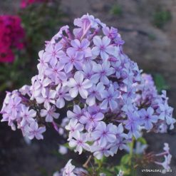 Phlox 'Plumeria'