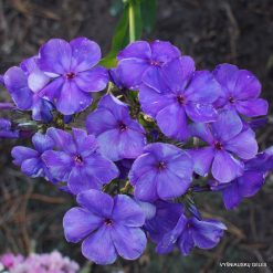 Phlox 'Pyatyi Element'