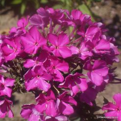 Phlox 'Richard Strauss'