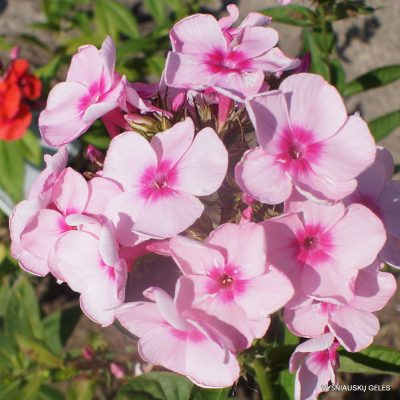 Phlox 'Rosabella' (2)