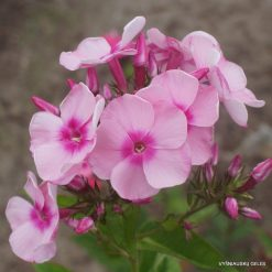 Phlox 'Rosabella' (3)