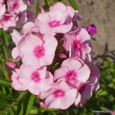 Phlox 'Rosabella'
