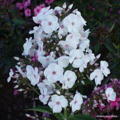 Phlox 'Rosenkristall' (4)