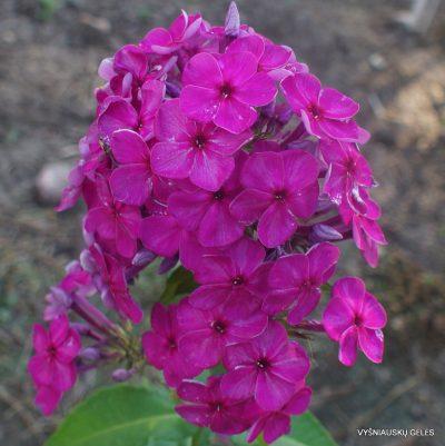 Phlox 'Serebryanaya Fleita'