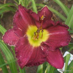 Daylily 'Lilac Glow'