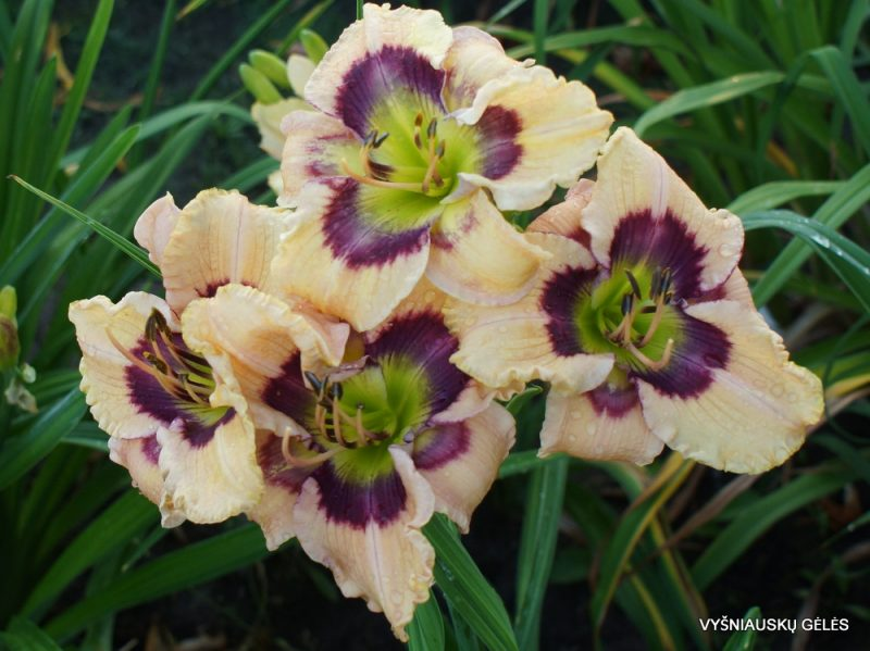 Daylily 'Butterflies and Rainbows' (3)