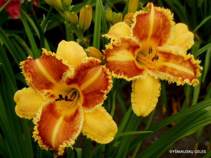 Daylily 'Crocodile Rock' (2)