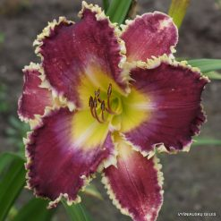 Daylily 'Fangs To You'