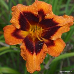 Daylily 'Heavenly Bengal Tiger'