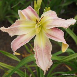 Daylily 'Lily Munster'