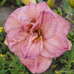 Daylily 'Music of the Master'