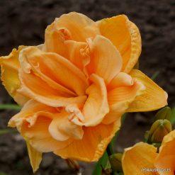 Daylily 'Peach Magnolia'