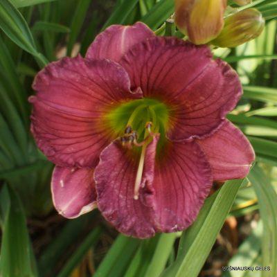Daylily 'Purple Pawprint' (2)
