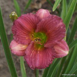 Daylily 'Purple Pawprint'