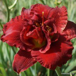 Daylily 'Red Boutonniere'