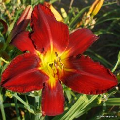 Daylily 'Red Tailed Hawk'