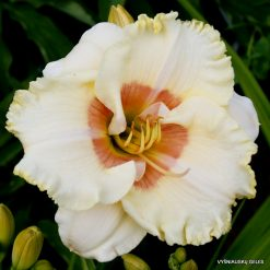 Daylily 'Shirley Goodness and Mercy'