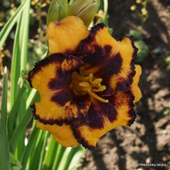 Daylily 'Spacecoast Pansy Pinafore'