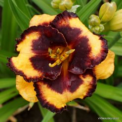 Daylily 'Spacecoast Pansy Pinafore' (3)