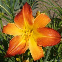 Daylily 'Sunny Intervals'