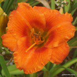 Daylily 'Tangerine Sunrise'