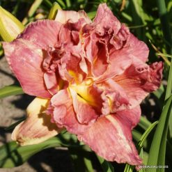 Daylily 'Tickle My Fancy'