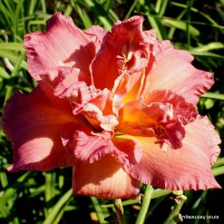 Daylily 'Time to See'