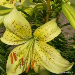 Lily 'Zalumbale'