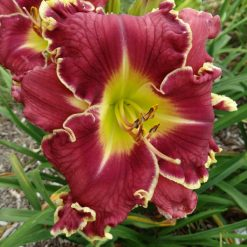 Daylily 'Vision of Things to Come'