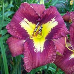 Daylily 'Yes Man'
