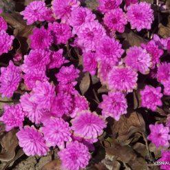 Hepatica-nobilis-'Rubra-Plena' (2)