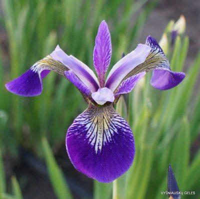 Iris 'Cat Mousam'