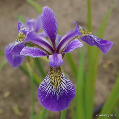 Iris 'China West Lake' (2)