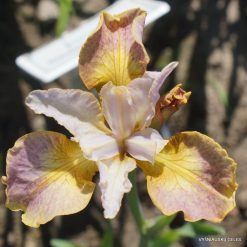 Iris 'Colours of Ostrava'