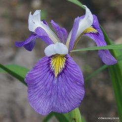 Iris 'Enfant Prodige'