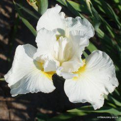 Iris 'Erste Sahne'