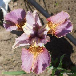 Iris 'Evening Comes'