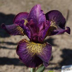Iris 'Gone Plummin'