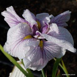 Iris 'Greywoods Catrina'