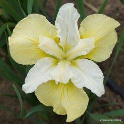 Iris 'Isabelle'