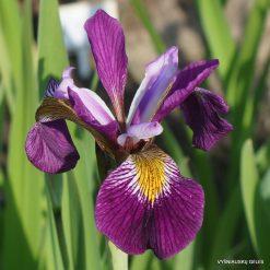 Iris 'John Wood'