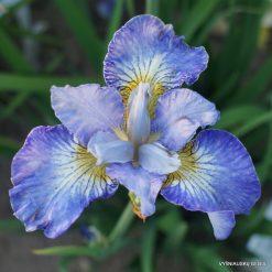 Iris 'Jolly Young Man'