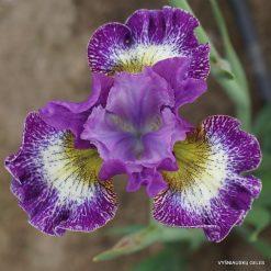 Iris 'Judy Judy Judy'