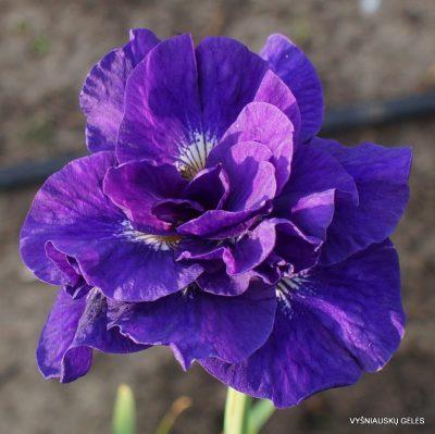 Iris 'Kabluey' (3)