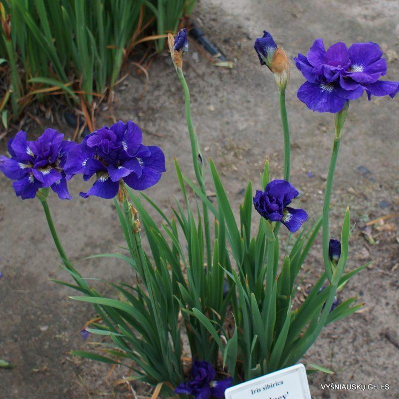 Iris 'Kabluey' (4)