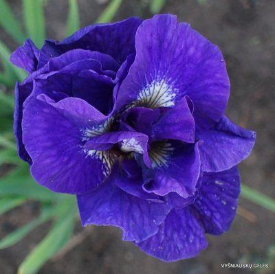 Iris 'Kabluey'